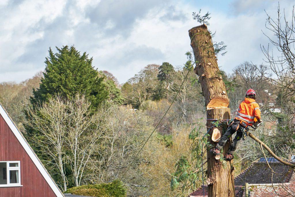 Tree surgeon, felling tree
